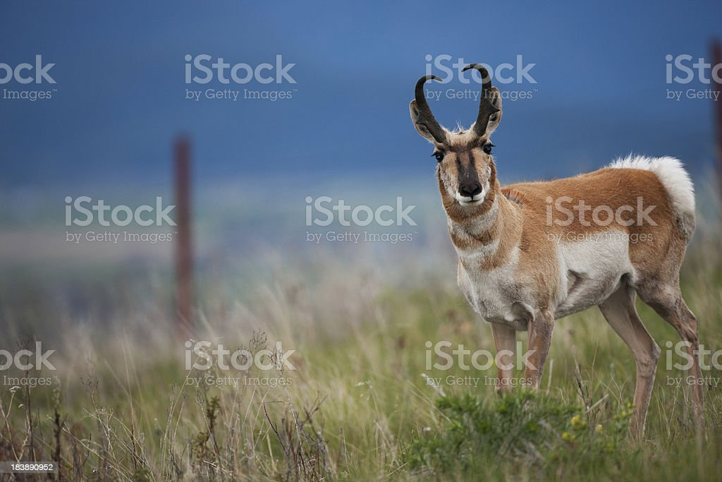 Pronghorn antelope in Montana. stock photo