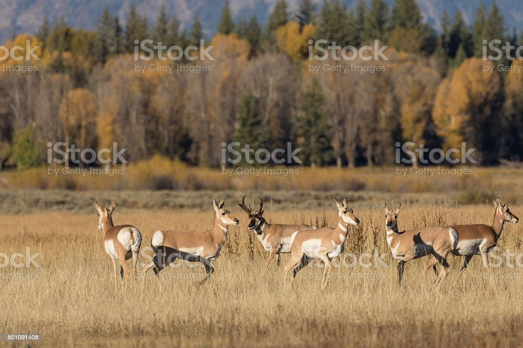 Pronghorn Antelope in rut stock photo