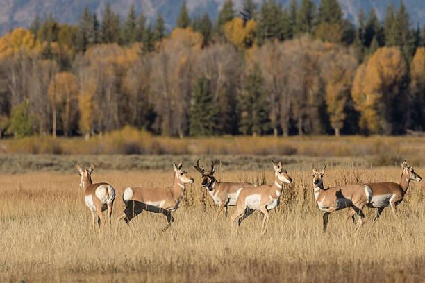 Pronghorn Antelope in rut stock photo