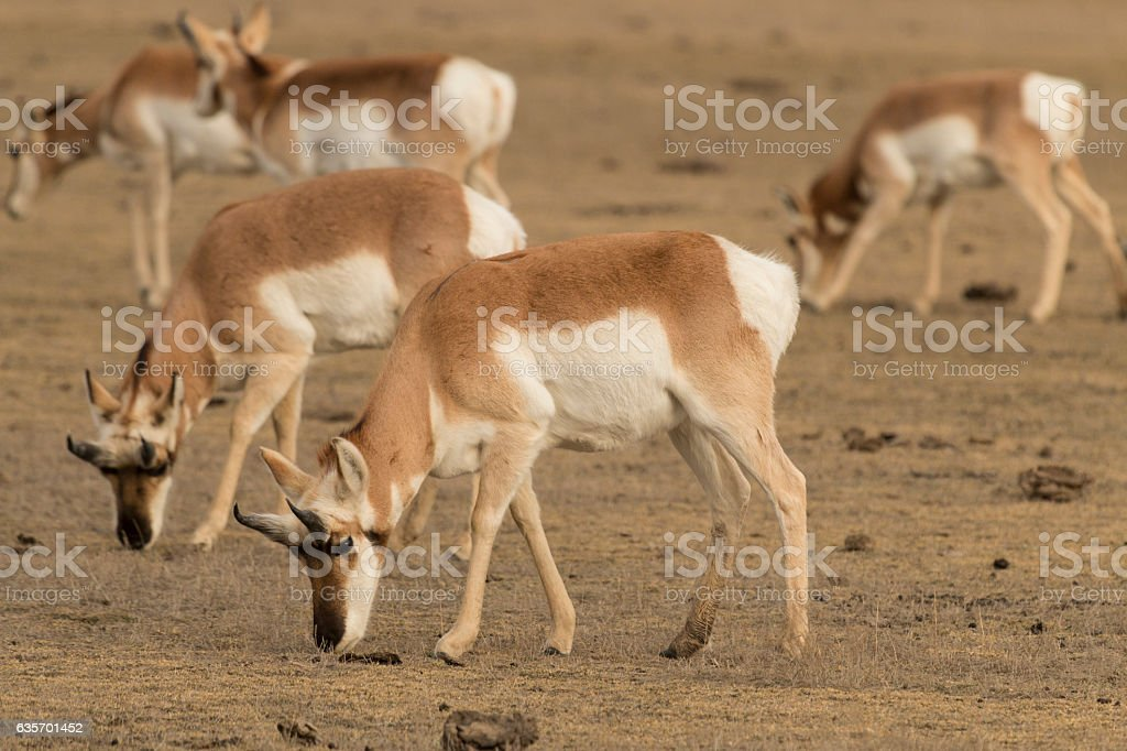 Pronghorn antelope in Yellowstone National Park, Wyoming. royalty-free stock photo