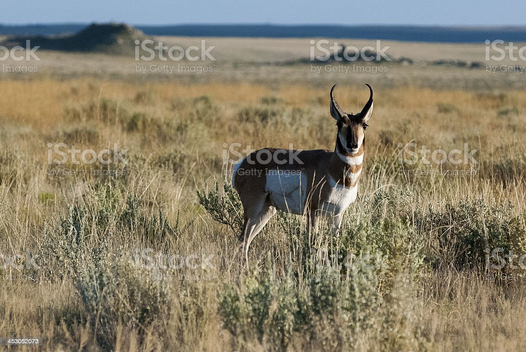 Pronghorn Antelope on Short Grass Praire Grassland Colorado stock photo