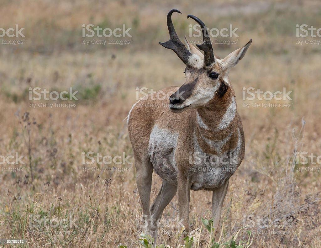 Gabelbock Antelope – Foto