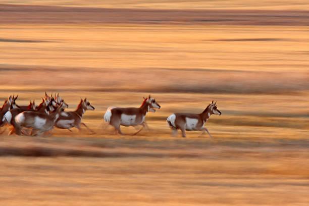 Pronghorn Antelope running through Saskatchewan field stock photo