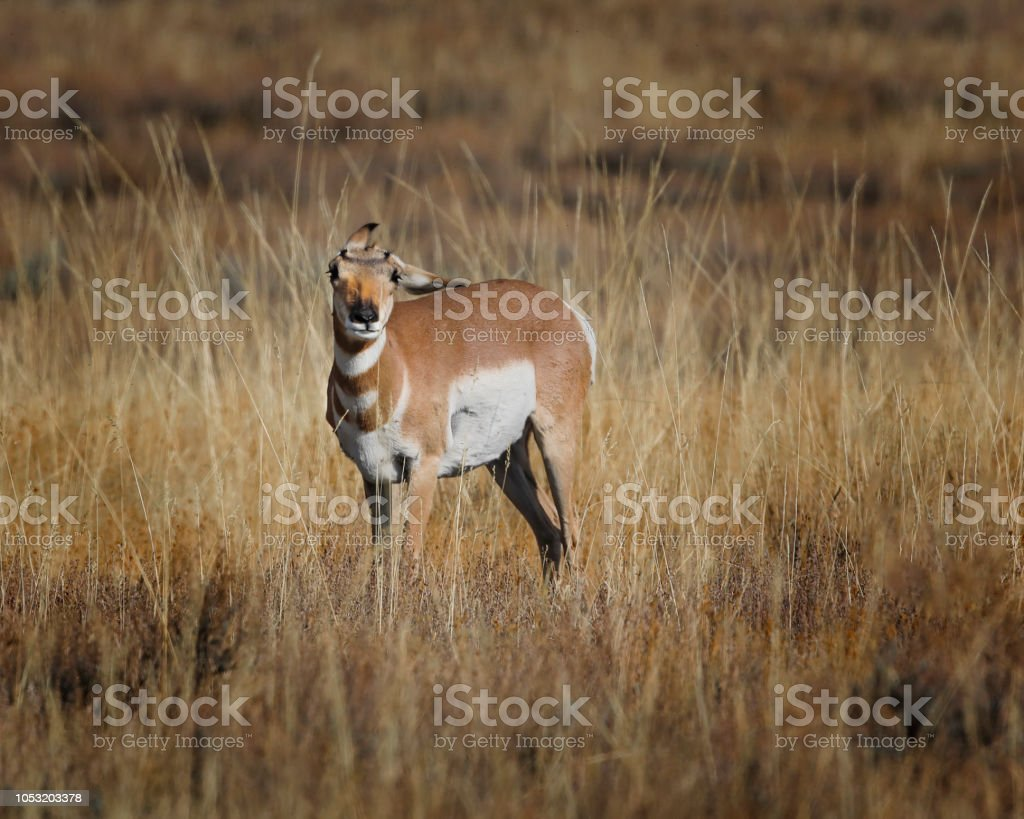 Pronghorn appears to be having trouble with her ears stock photo