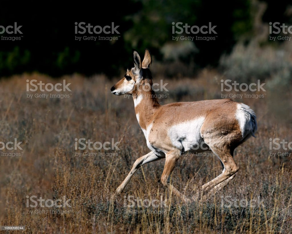 Pronghorn at a full run stock photo