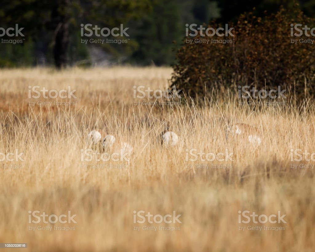 Pronghorn barely visible in the tall grass stock photo