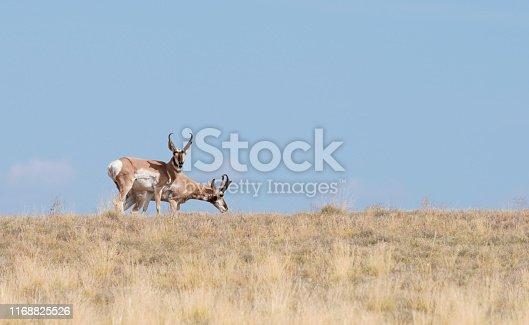 Two Pronghorn Antelope Bucks Enjoying Arizona's Summer Grass