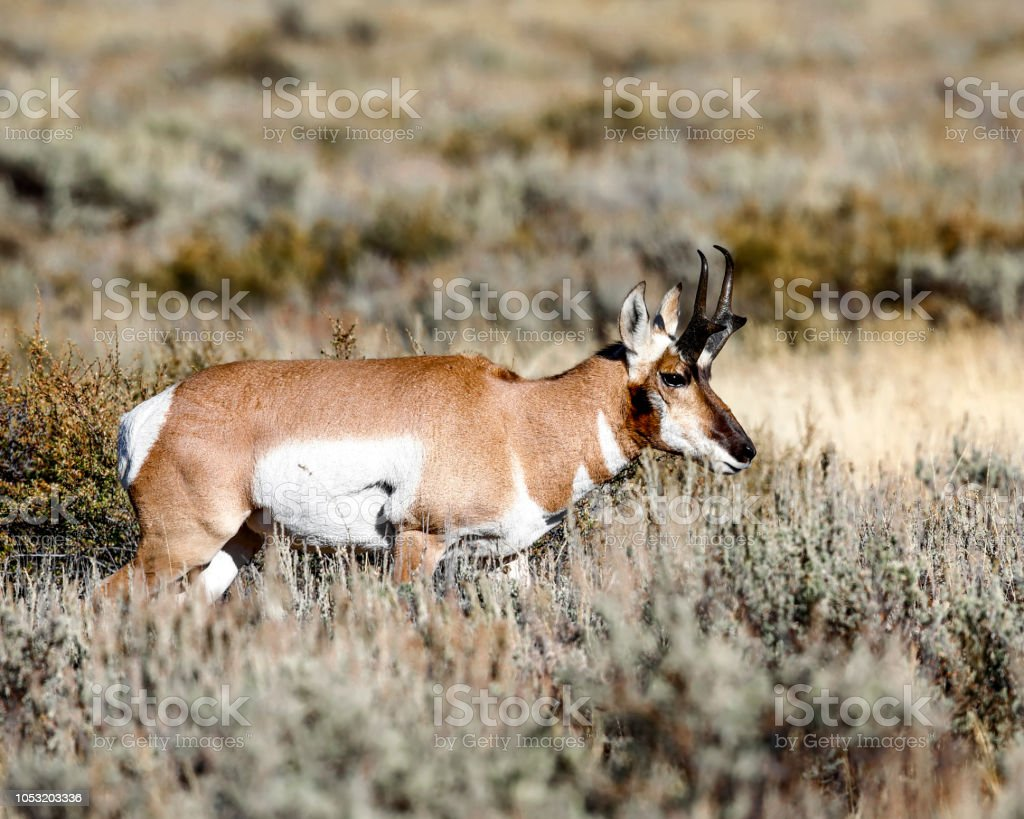 Pronghorn buck by himself stock photo
