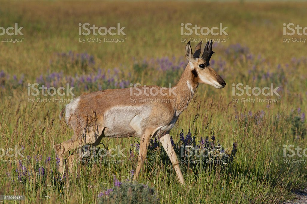 Pronghorn Buck in Lupine stock photo