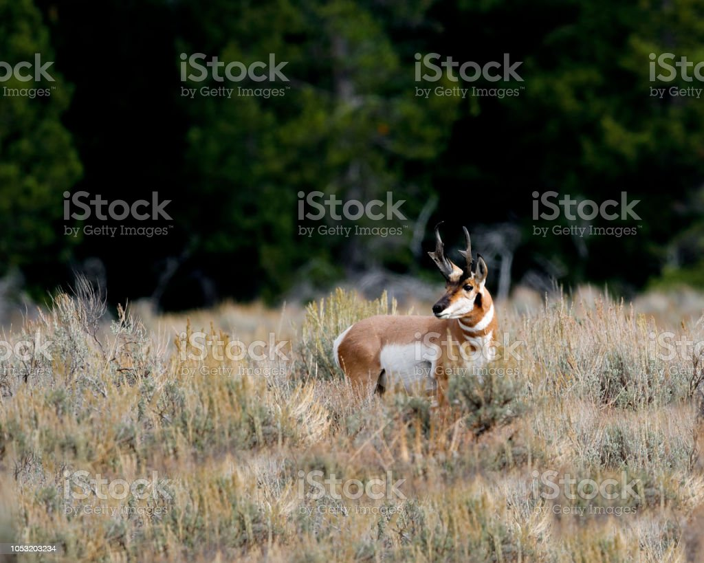 Pronghorn buck looking warily around him stock photo