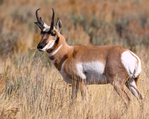 Pronghorn buck stock photo