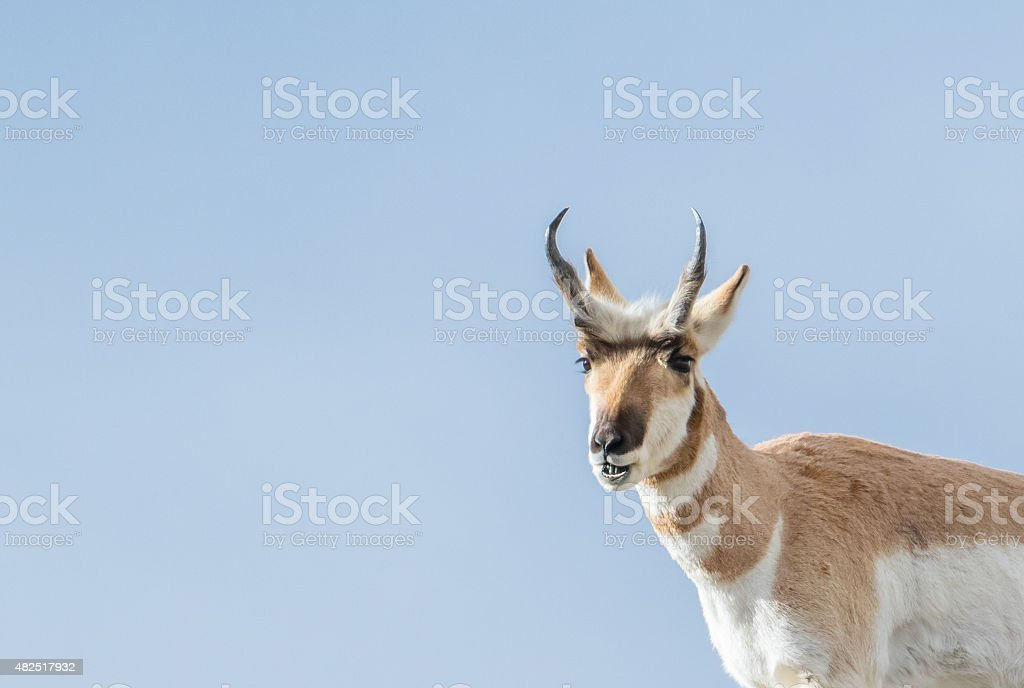 pronghorn buck smiling stock photo