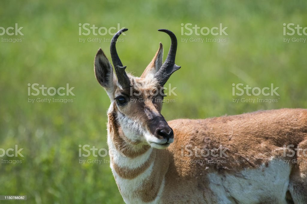 Pronghorn, Custer State Park - Royalty-free Antelope Stock Photo