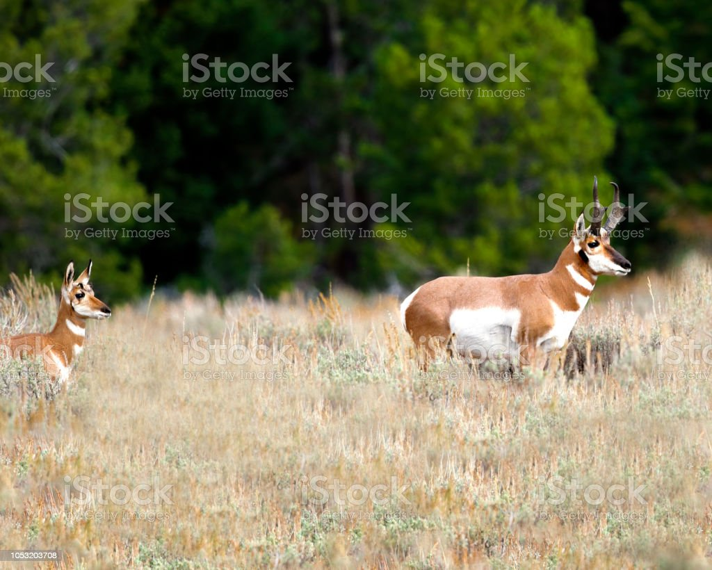 Pronghorn doe following her master stock photo