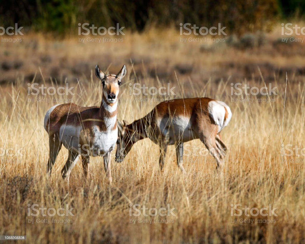 Pronghorn has spotted the photographer stock photo
