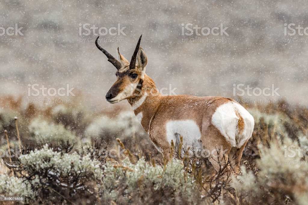 Pronghorn in Snow stock photo