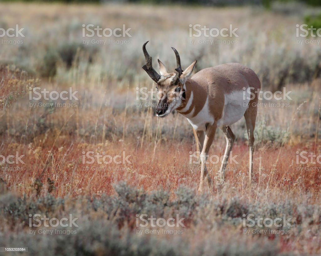 Pronghorn in the meadow stock photo