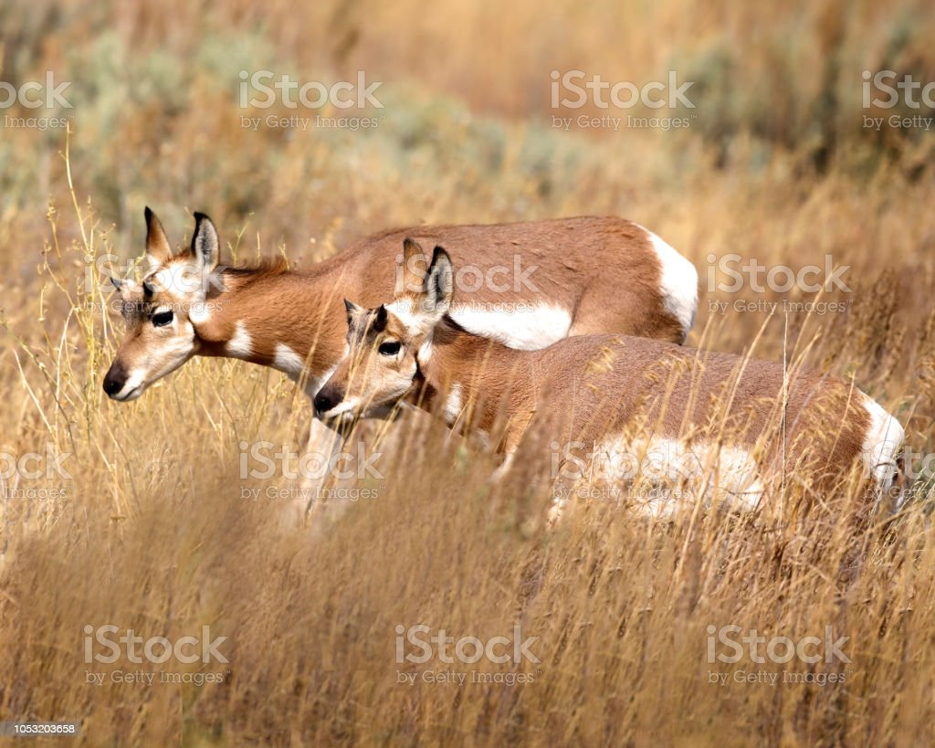 Pronghorn in the tall grass stock photo