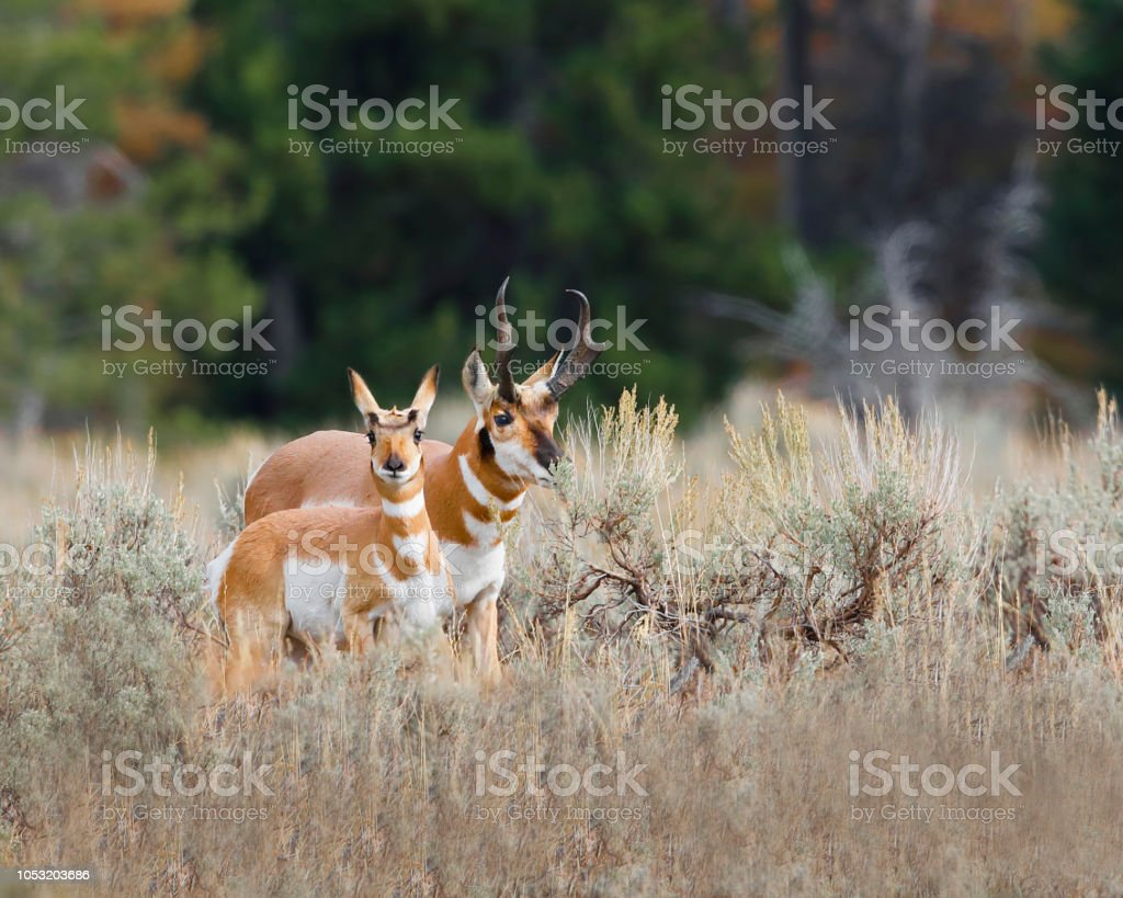 Pronghorn looking warily at the camera stock photo