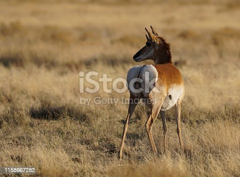 Pregnant Pronghorn Doe stands in a field of grass in the late afternoon.