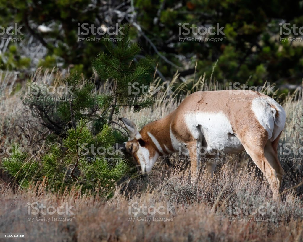 Pronghorn scratching his head on a bush stock photo