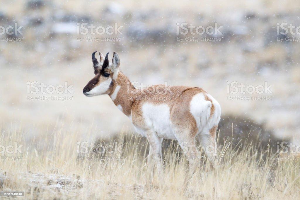 叉角羚從後方的側視圖。 免版稅 stock photo
