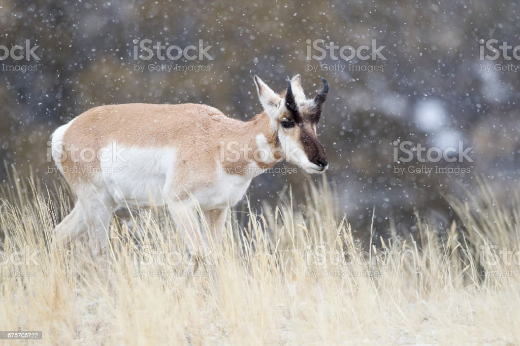 Pronghorn sideview from the front royalty-free stock photo