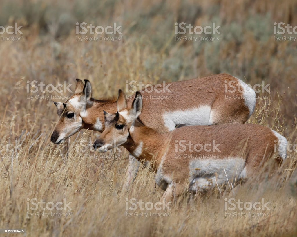 Pronghorn sisters stock photo
