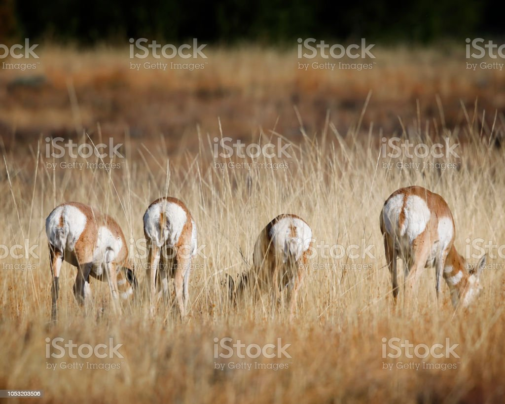 Pronghorn telling the photographer what they think of her intrusion stock photo