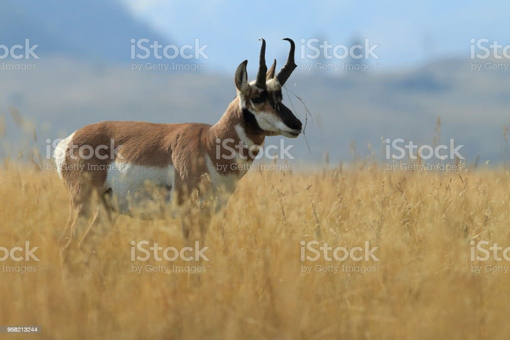 Pronghorn walking in grass, Wyoming, Yellowstone National Park stock photo
