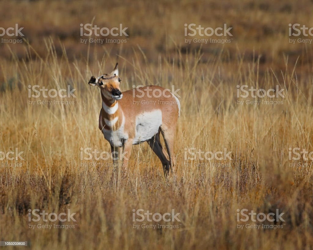Pronghorn with windblown ears stock photo
