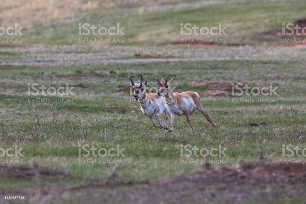 Pronghorns, Custer State Park - Royalty-free Antelope Stock Photo