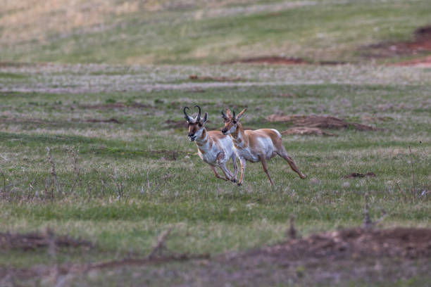 Pronghorns, Custer State Park stock photo