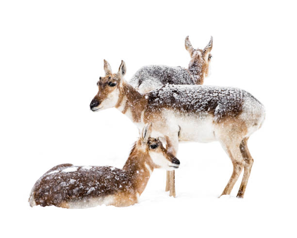 Pronghorns in Snow stock photo