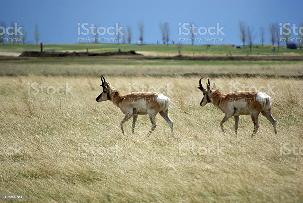 Pronghorns on the Prairie stock photo