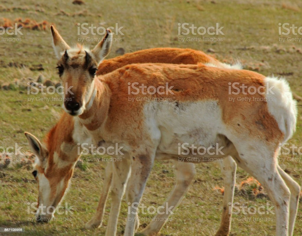 Pronghorns stock photo