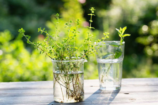 Propagation of cuttings:  thyme and mint in glasses building up roots stock photo