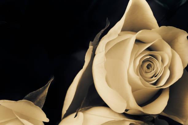 Proposal white rose sad rose flower picture id664182238?b=1&k=6&m=664182238&s=612x612&w=0&h=ekwio2lexym3pzc9owxfqjprntqbqpuhpqqhu9vy3oy=
