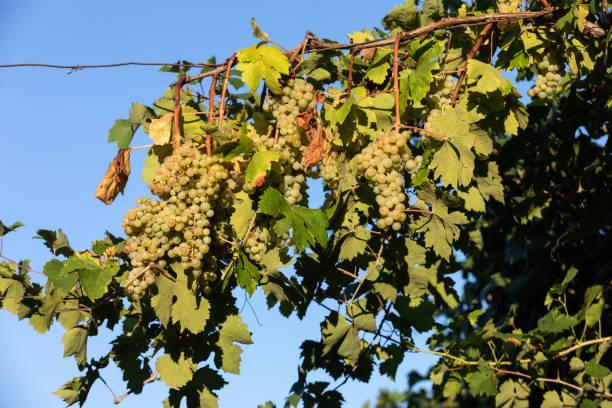 Prosecco white grapes on a vineyard befor harvesting in Valdobbiadene hills. Veneto. Italy stock photo
