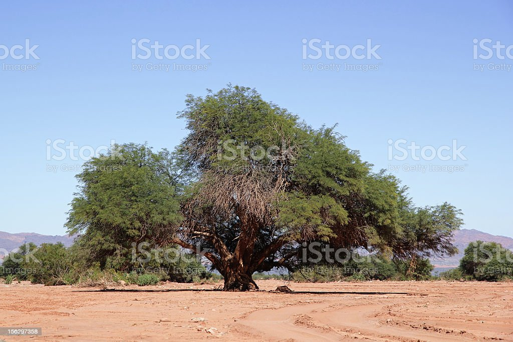 Prosopis tree stock photo