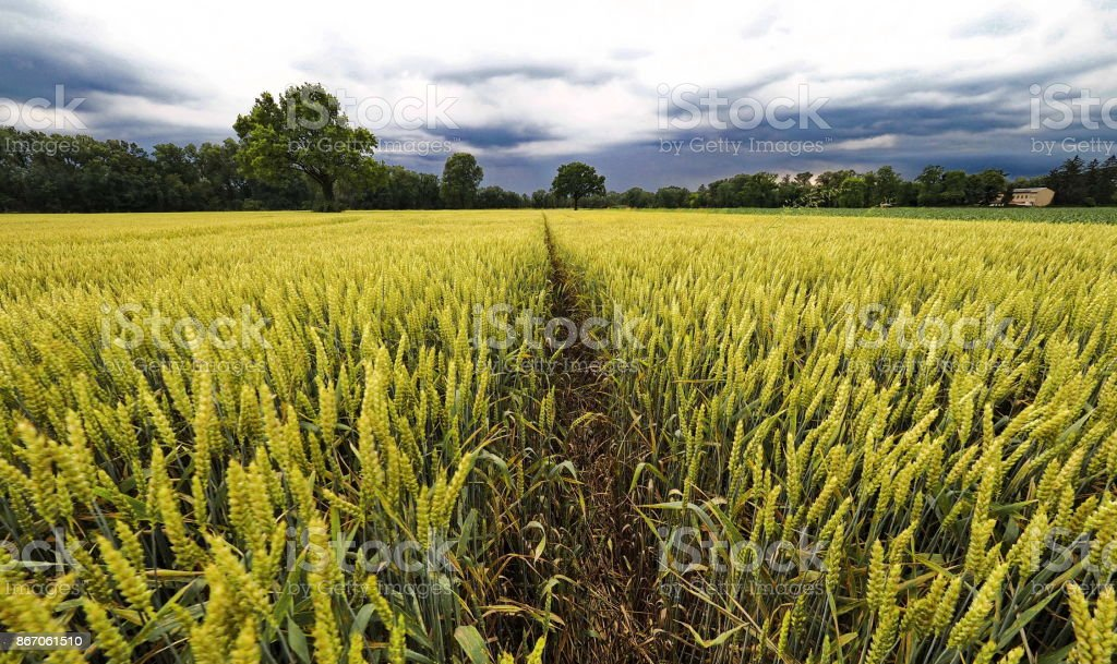 Prospective in the wheat stock photo