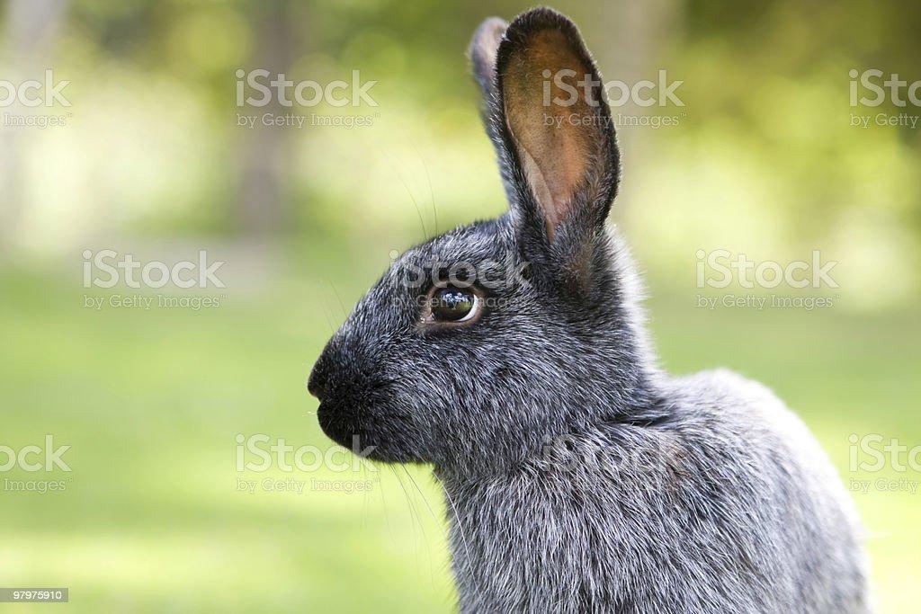 prosperous rabbit royalty-free stock photo