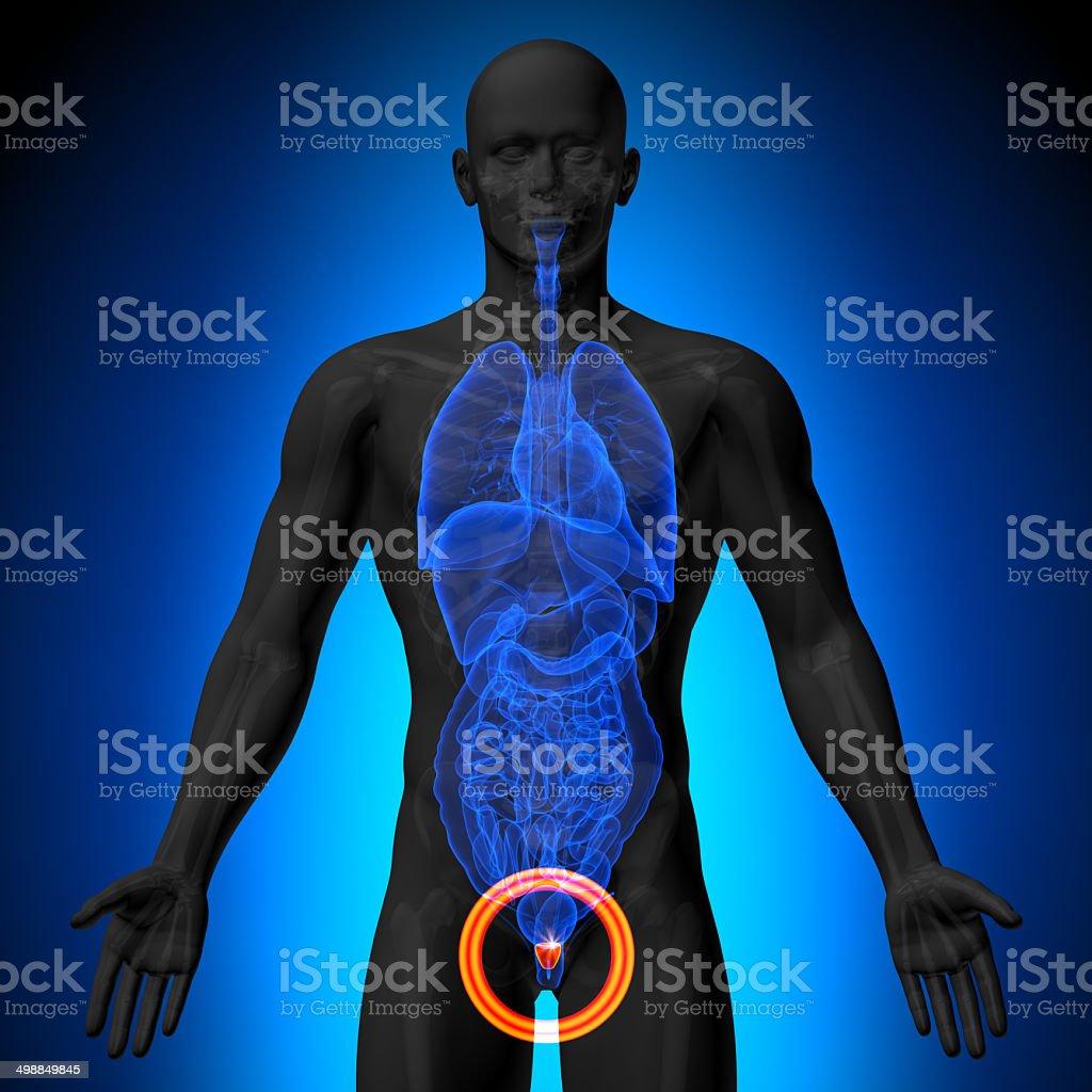Fotografía de Próstata Hombre Anatomía De órganos Humanosvista De ...