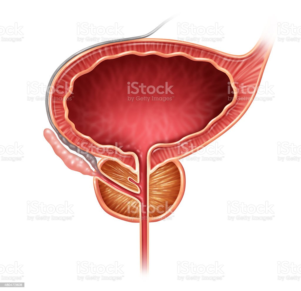 Prostate Organ stock photo