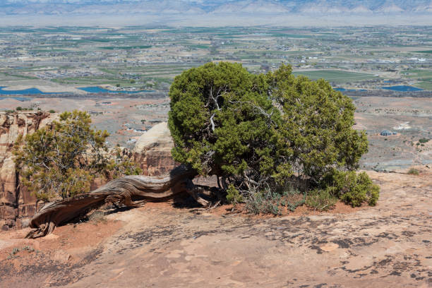 Prostrate Juniper on the Edge of the Colorado National Monument stock photo