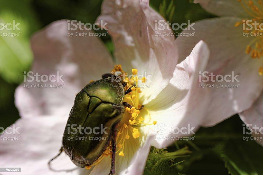 Protaetia fieberi specie of Beetle royalty-free stock photo
