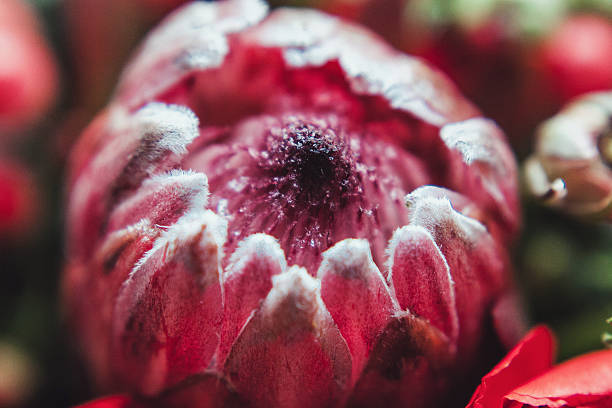 protea and ranunculuses bouquet on a blured gray background - protea strauß stock-fotos und bilder