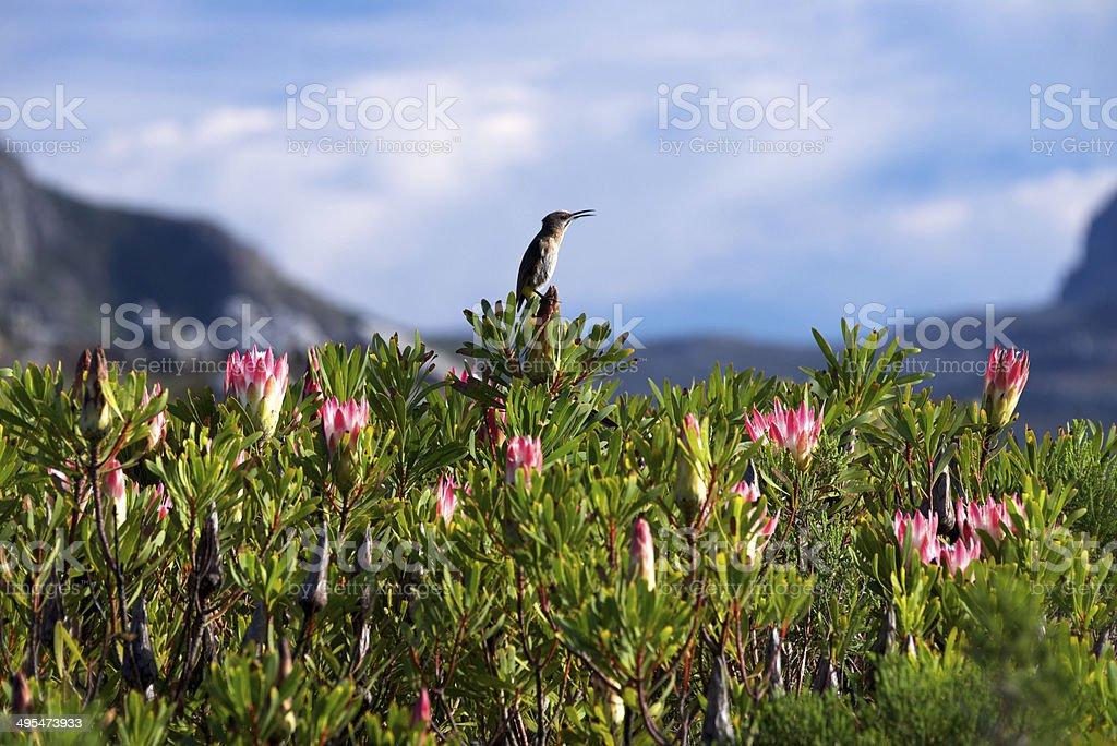 Protea bush with sugar bird - Royalty-free Bananaquit Stock Photo