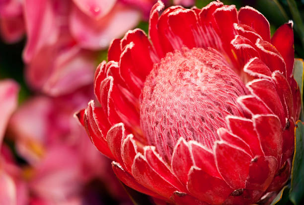 protea blume gegen orchideen - protea strauß stock-fotos und bilder