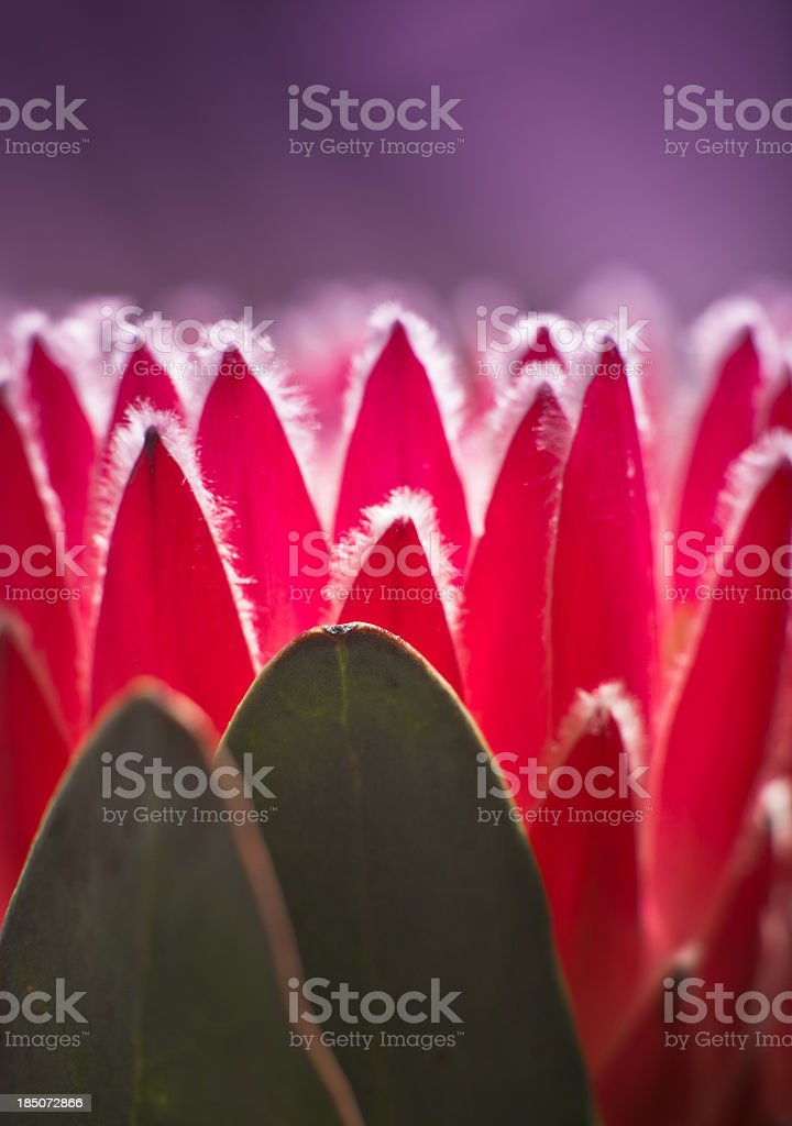 Protea flower royalty-free stock photo